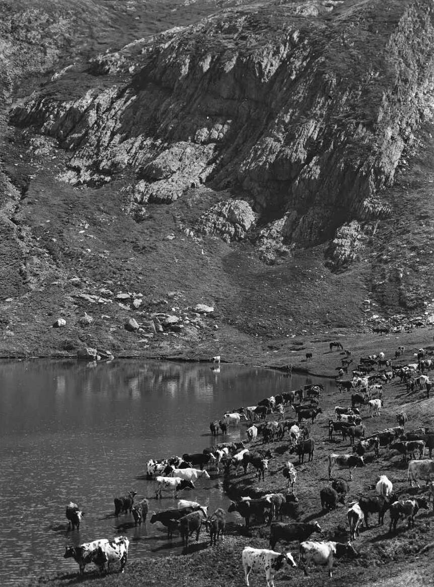 'Cattle on Blue Lake near Kosciuszko' 1909 Source George Bell National Library Australia