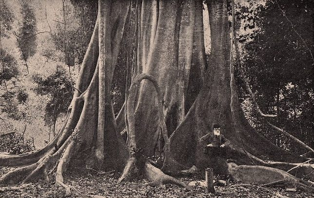 Giant fig tree Grafton Source: New South Wales Through the Camera 1897 Eyre & Spottiswoode