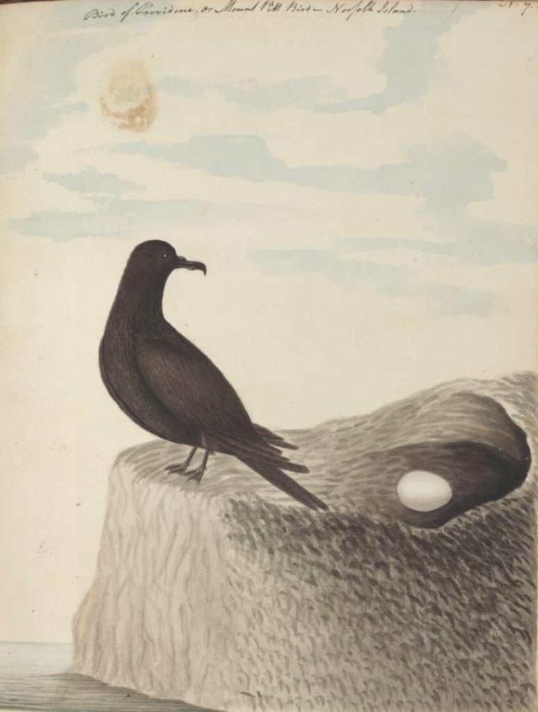 Bird of Providence, or Mount Pitt bird, Norfolk Island 1790 Source: John Hunter NLA