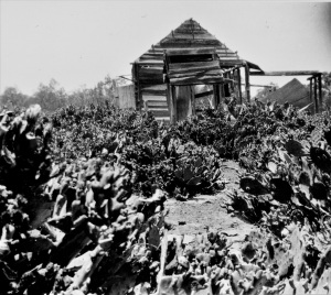 'Remains of Johnty Turner's home, overrun with prickly pears' Chinchilla District Queensland 1920s Source: State Library Queensland