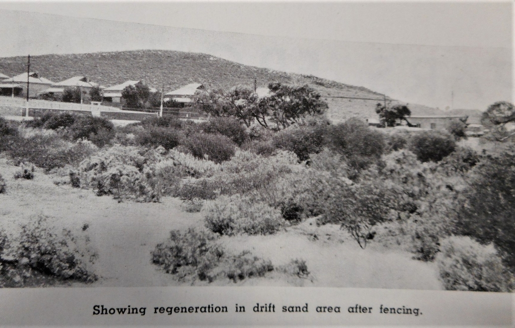 Whyalla beach sand-dune natural regeneration site Source: BHP Review 1939