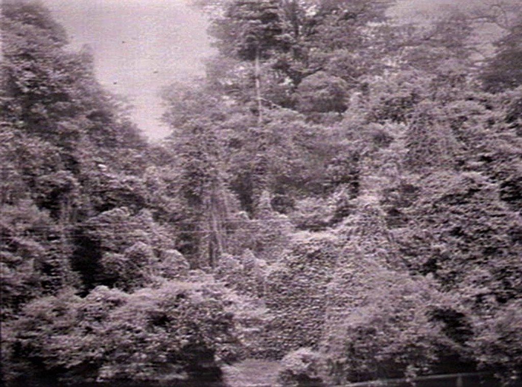 Wingham Brush 1937 Exotic species enveloping rainforest Source: Govt Printing Office State Library NSW