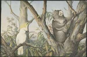 'Cockatoo and koala' approx. 1880-1903 Source: N Cayley NLA