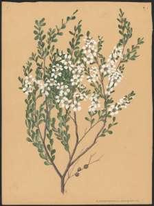 'Leptopsermum laevigatum' approximately 1920s Source: A Forster NLA