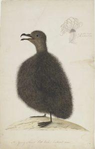 Young Mount Pitt Bird approx.1792 Source: Sydney Bird Painter SLNSW