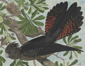'The red-tailed black cockatoo (Calyptorhynchus banksii) on Banksia serrata L.f., family Proteaceae, 1929' Source: E. Gostelow NLA
